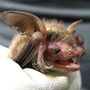cwpt conservation bats
