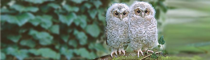Tawny Owl owlets