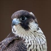 peregrine-falcon - Dave Kilbey